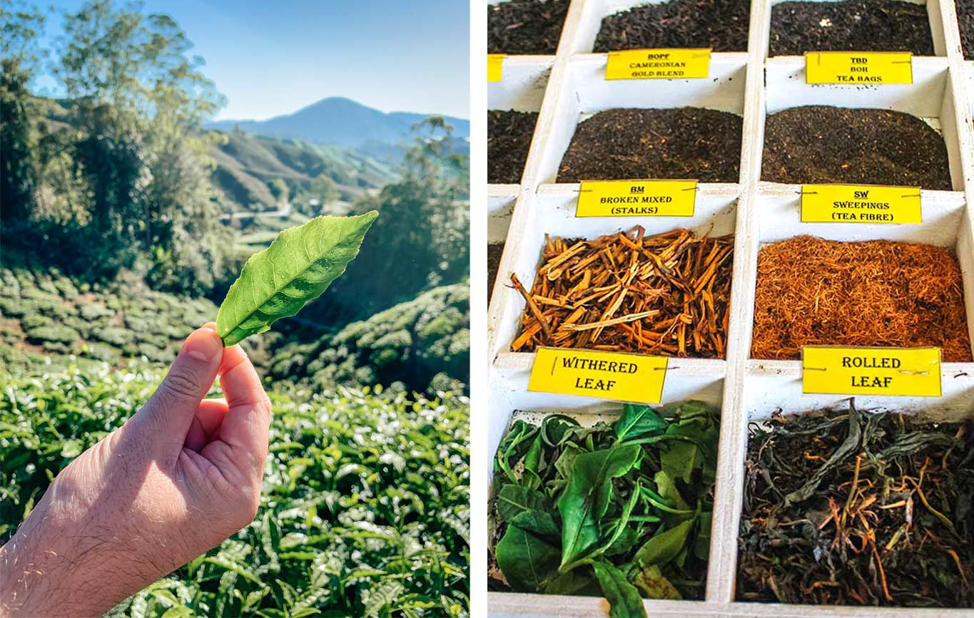 Top Cameron highlands attractions: the ultimate travel guide